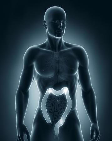 Man colon natomy anterior view photo