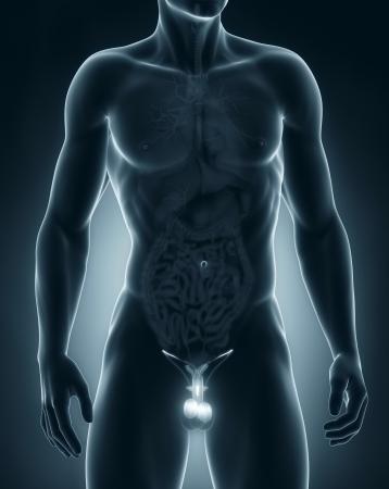 Man genitals anatomy anterior view Stock Photo - 21789915