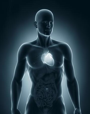 Man heart anatomy anterior view photo