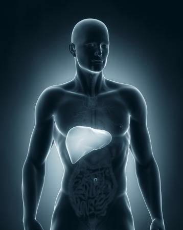 cirrhosis: Man liver anatomy anterior view