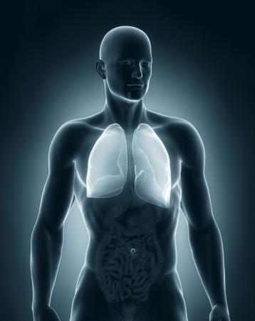 alveolos pulmonares: Hombre pulmones Anatomía vista anterior Foto de archivo