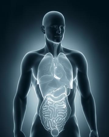 anterior: Man organs anatomy anterior view Stock Photo