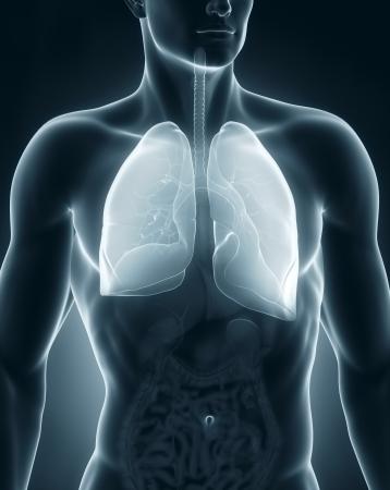 anterior: Man respiratory system anatomy anterior view