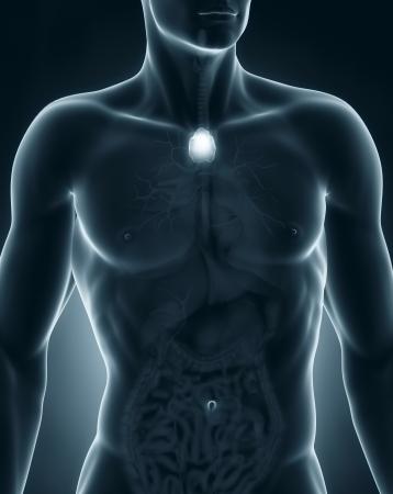 anterior: Man thymus anatomy anterior view
