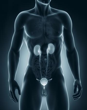 anterior: Man urinary system anatomy anterior view