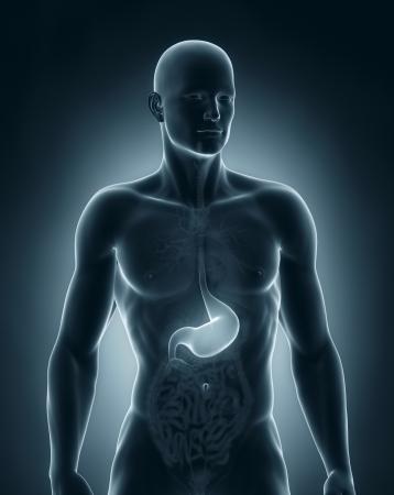 Man Magen Anatomie vordere Ansicht