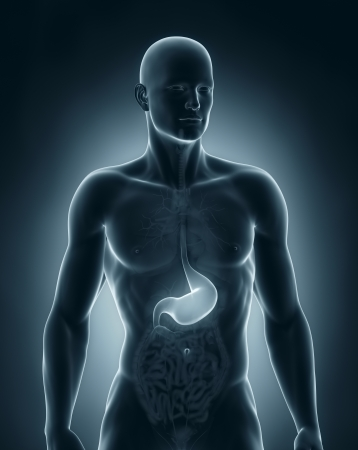 Man stomach anatomy anterior view Stock Photo - 21790099
