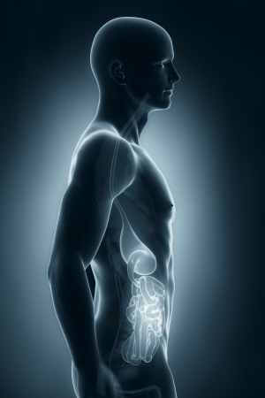 Male digestive system anatomy lateral view Stock Photo - 21790102