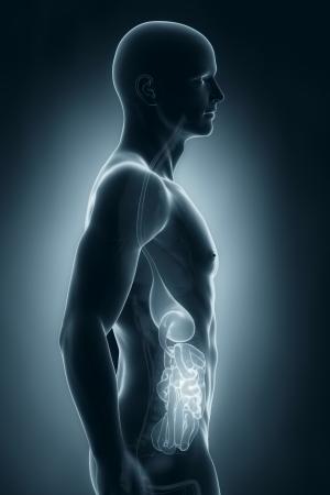 sistema digestivo: Sistema digestivo Hombre vista lateral de la anatomía