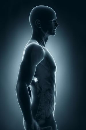suprarrenales: Hombre suprarrenal vista lateral de la anatomía