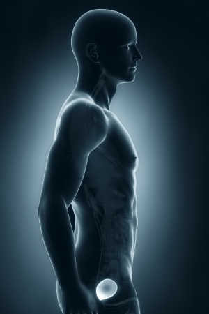 Man bladder lateral anatomy photo