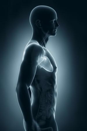 Male heart anatomy anterior view photo