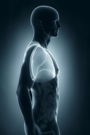 lateral: Pulmones Male vista lateral anatom�a
