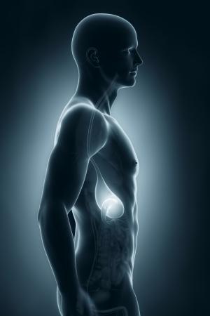 lateral: Est�mago Male vista lateral anatom�a