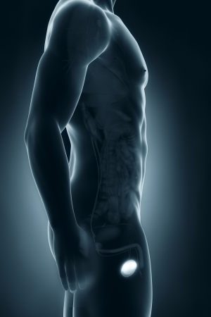 Male testes anatomy lateral view Stock Photo - 21790113