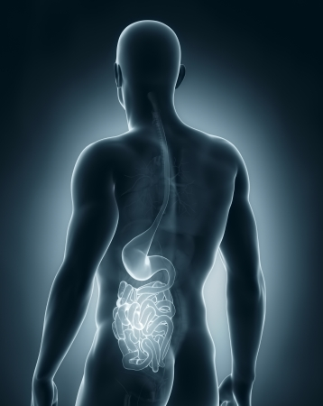 humans: Male digestive system anatomy posterior view Stock Photo