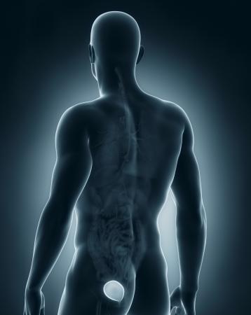 Man bladder anatomy photo