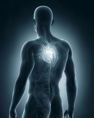 Male circulatory system photo