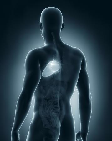 Male heart anatomy posterior view photo