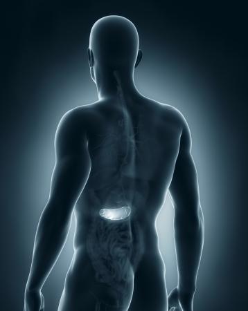 posterior: Male pancreas anatomy posterior view Stock Photo