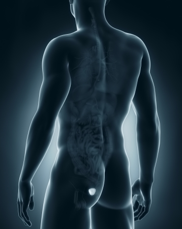 Male prostate anatomy posterior view Stock Photo - 21790248