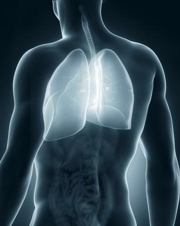posterior: Male respiratory system anatomy posterior view Stock Photo