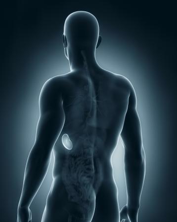 posterior: Male spleen anatomy posterior view