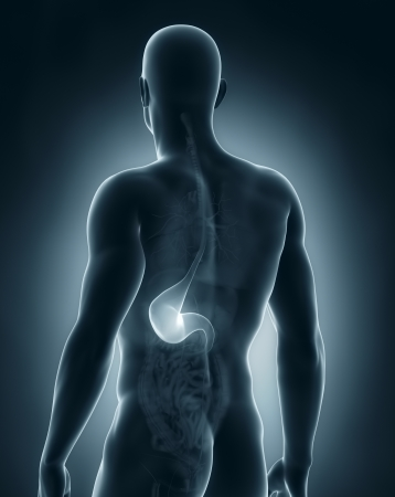 Male stomach anatomy poster view Stock Photo - 21790304
