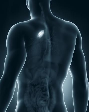 posterior: Male thymus anatomy posterior view
