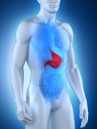 s stomach: Male stomach anatomy anterior view Stock Photo