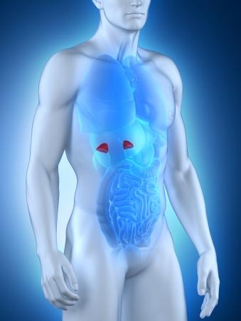anterior: Male adrenal anatomy anterior view Stock Photo