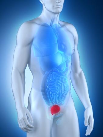 renal stone: Man bladder anatomy