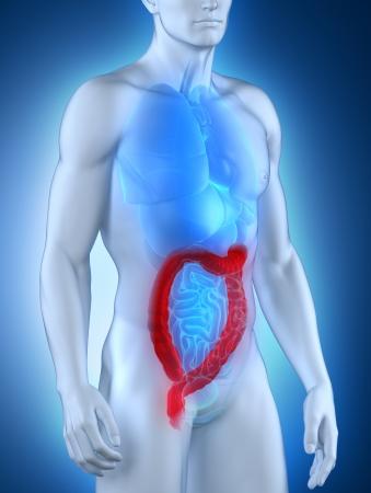 ileum: Man colon natomy