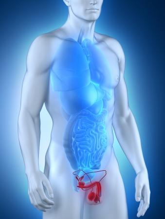 Male genitals anatomy anterior view Stock Photo - 21790313