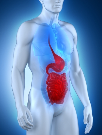 Male digestive system aanatomy anterior view Stock Photo