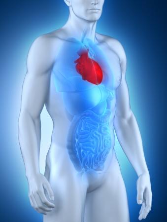 body heart: Male heart anatomy anterior view