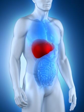 hepatitis: Male liver anatomy anterior view