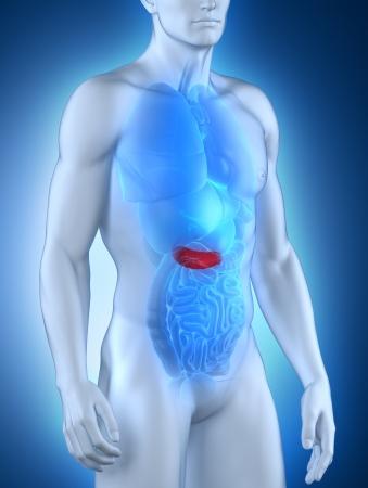 pancreatic: Male pancreas anatomy anterior view
