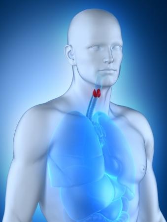 anterior: Male aanatomy anterior view