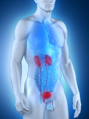 uretra: Anatomía del sistema urinario masculino vista anterior Foto de archivo