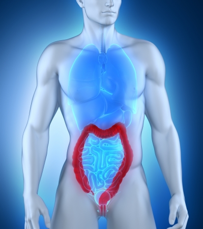 Man colon natomy anterior view Stock Photo - 21790459