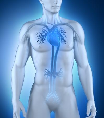 aorta: Male circulatory system anterior view Stock Photo