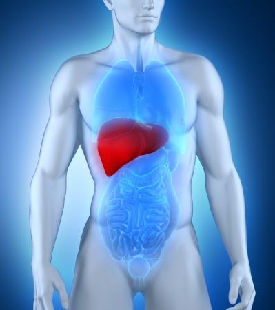 hepatitis: Male liver anatomy Stock Photo