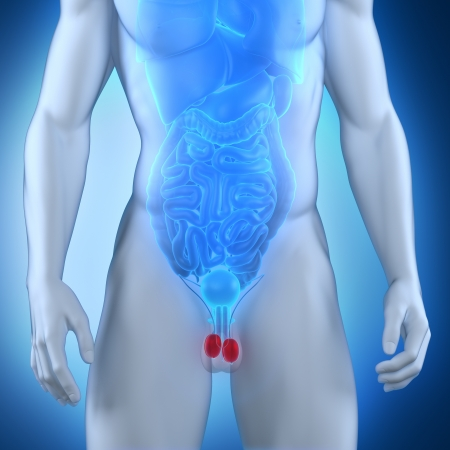 Male testes anatomy Stock Photo - 21790499