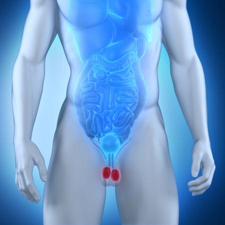 Male testes anatomy Stock Photo - 21790499
