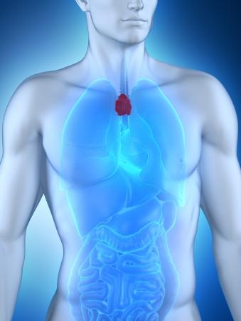 lymphocytes: Male thymus anatomy