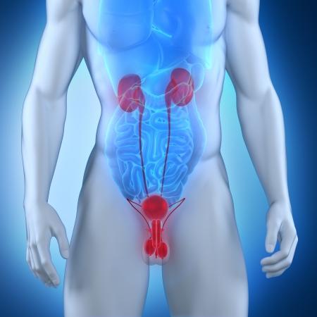 uretra: Anatom�a masculina urogenital
