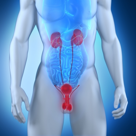 Male urogenital anatomy Stock Photo