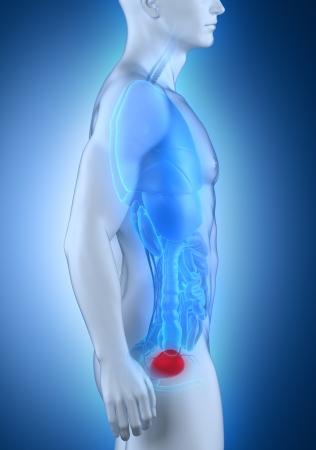 renal stone: Man bladder lateral anatomy Stock Photo