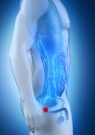 testiculos: Hombre de próstata vista lateral de la anatomía